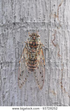 Cicada on the tree