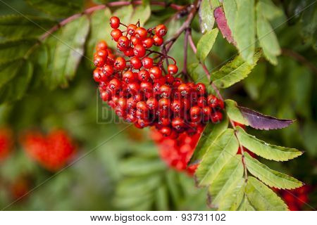 Mountain ash branch with berries