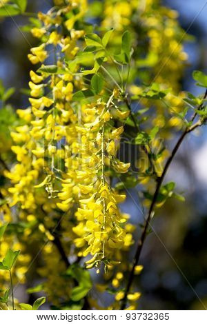 Blossoming Acacia. Bunches Of Yellow Flowers In The Office Light On Blurred Background. Soft Selecti