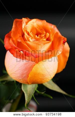 Beautiful Delicate Orange Rose In Back Light On Dark Background. Selective Focus, Space In The Zone