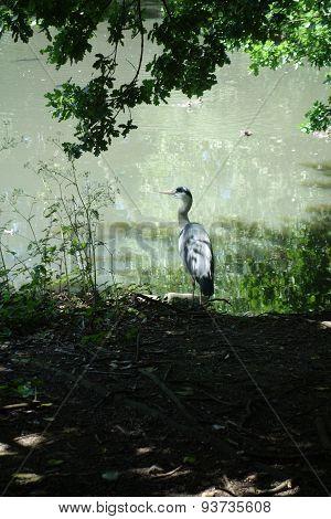 Grey Heron Scene