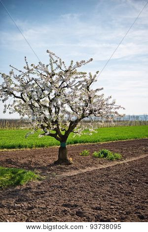Pretty white spring blossom on an apple tree growing in a freshly plowed field on rural farmland symbolic of the changing seasons and crop production