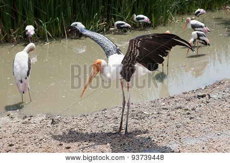 Painted Stork (mycteria Leucocephala) Bird Standing In Flock