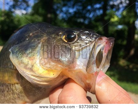 Big perch in the hands of the fisherman