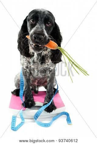Dog with carrot on scale, isolated on white