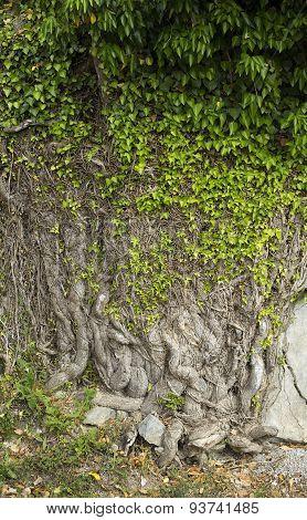 Big Ivy Plant