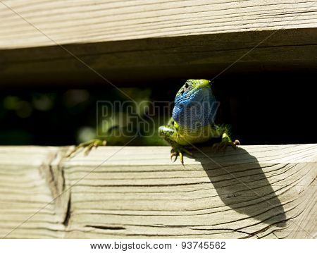 Lizard With Tick