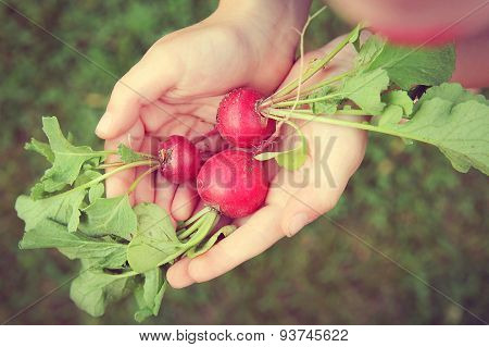 Young Childs Hands Holding Fresh Raw Garden Radishes