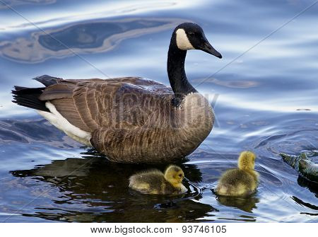 The Mother Goose With Two Children