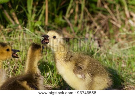 The Chick Is Telling Gossips