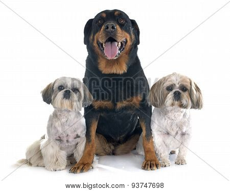 Shih Tzu And Rottweiler