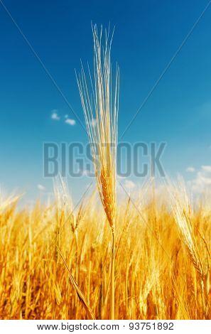 golden harvest and deep blue sky