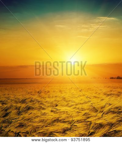 golden wheat field and sunset over it