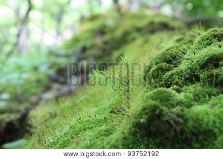 Sapling on Mossy Log