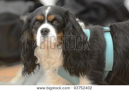 Cavalier King Charles Spaniel In Harness
