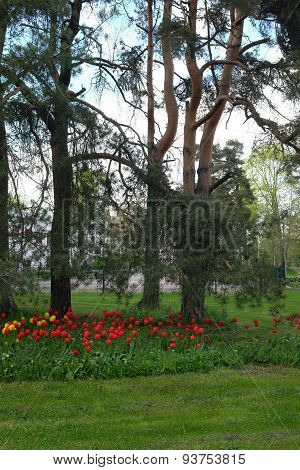 Bed Of Tulips, Lawn And Pine Trees In A Residential Area