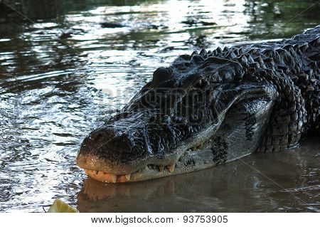 Caiman Head At Madidi National Park, Bolivia