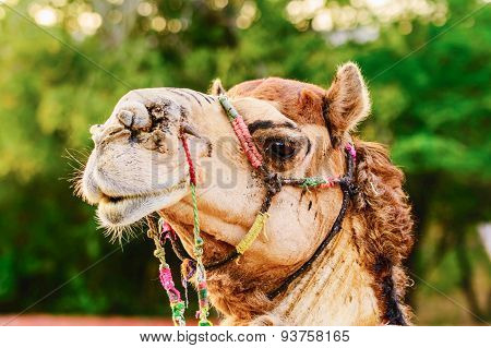 Profile Of A Camel In Jaipur, India