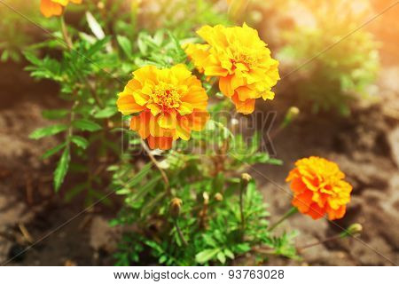 Bright marigold flowers on flowerbed
