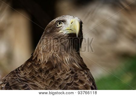 Portrait Of A Eagle
