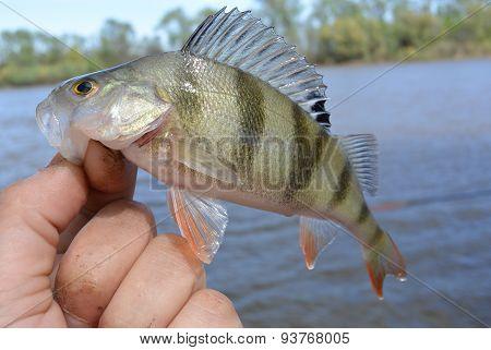 Caught perch
