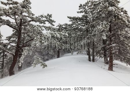 snow-covered pine forest in the fog in the mountains