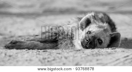 Tired Hyena Sleep On Dirt Road In The Early Morning Artistic Conversion