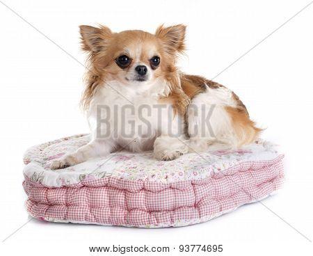 Chihuahua On Cushion
