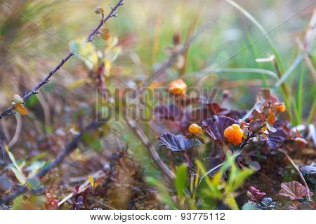 Ripe berry cloudberry