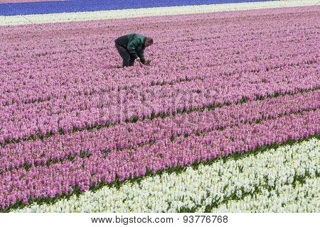 Man In Pink Hyacinth Field