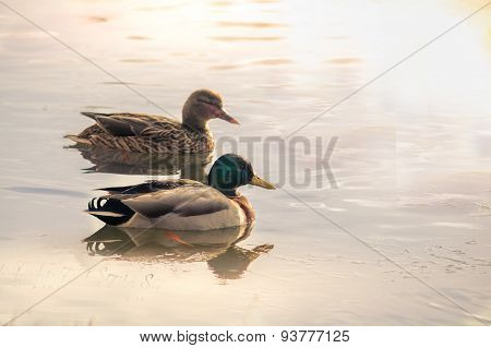 Pair of wild ducks swimming on a lake