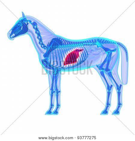 Horse Liver - Horse Equus Anatomy - Isolated On White