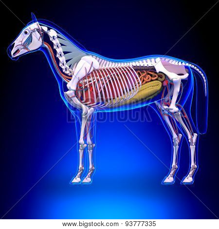 Horse Anatomy - Internal Anatomy Of Horse