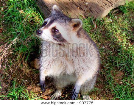 Racoon lindo debajo de un árbol