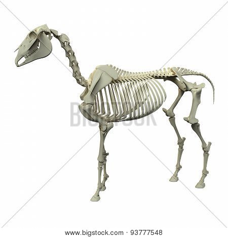 Horse Skeleton - Horse Equus Anatomy - Side View Isolated On White