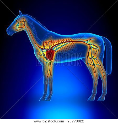 Horse Heart Circulatory System - Horse Equus Anatomy - On Blue Background