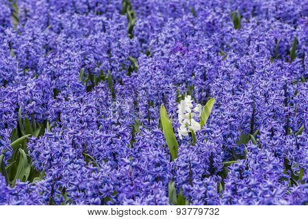 Purple Hyacinth Field Detail With One White