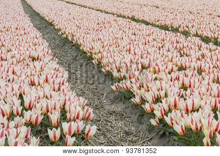 Red And White Tulip Field