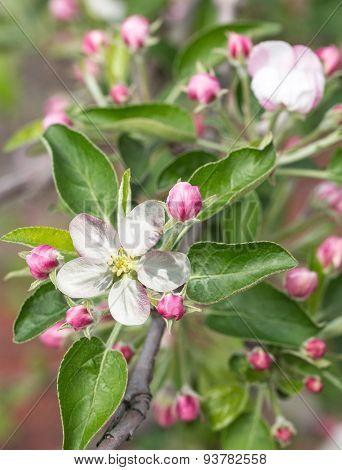 Blooming apple tree twig. Closeup shot.