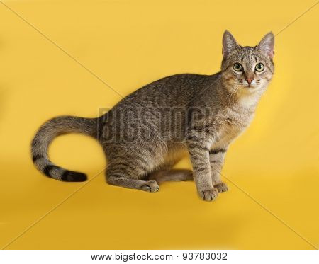 Grey Tabby Cat Sitting On Yellow