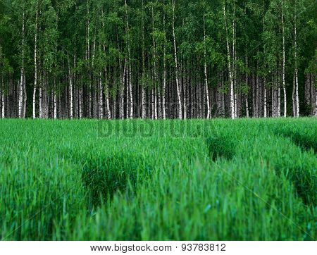 Green Wheat Field With Grove Of Birch Trees
