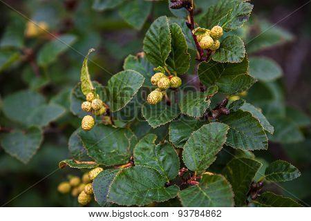 Alder branch with green cones