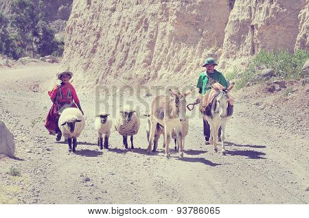 Man And Woman With Sheeps And Mules.
