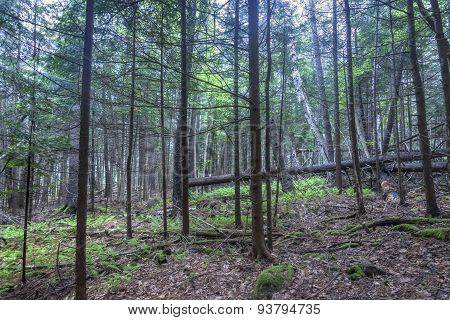 Dense Forested Hillside In Maine