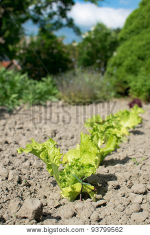 Young Lettuce Plants