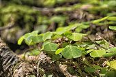 image of bavaria  - Closeup clover plant on mountain Breitenstein in the Alps in Bavaria Germany - JPG