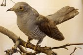 picture of taxidermy  - Cuckoo taxidermy animals birds objects exhibit wildlife - JPG