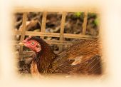 pic of egg-laying  - Hens In A Free Range Farm - JPG