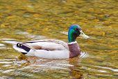 stock photo of male mallard  - Male mallard duck swimming in River Dee - JPG