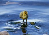 pic of mother goose  - The solely chick of the goose in the water - JPG